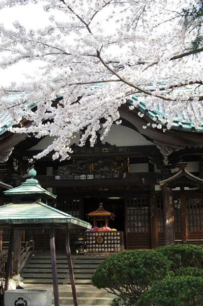 お寺には桜が似合います