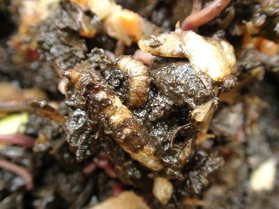 中央のクリーム色のものがミズアブの幼虫