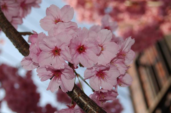濃いピンクの花です