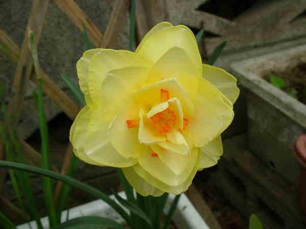 八重咲きスイセン